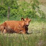 Angus auf der Weide